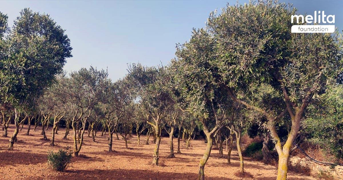Dar Tal-Providenza – Olive Grove